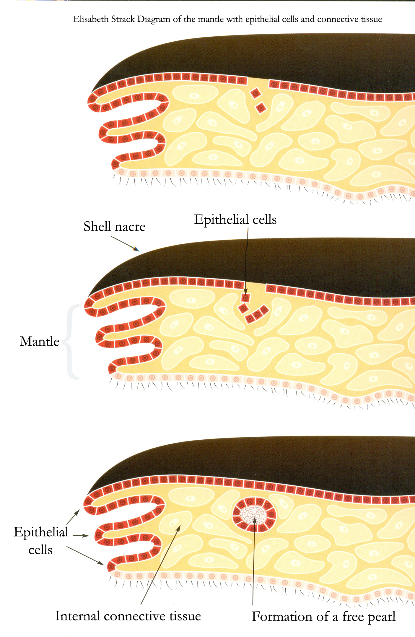 Edited E Strack Epithelial cell diagram