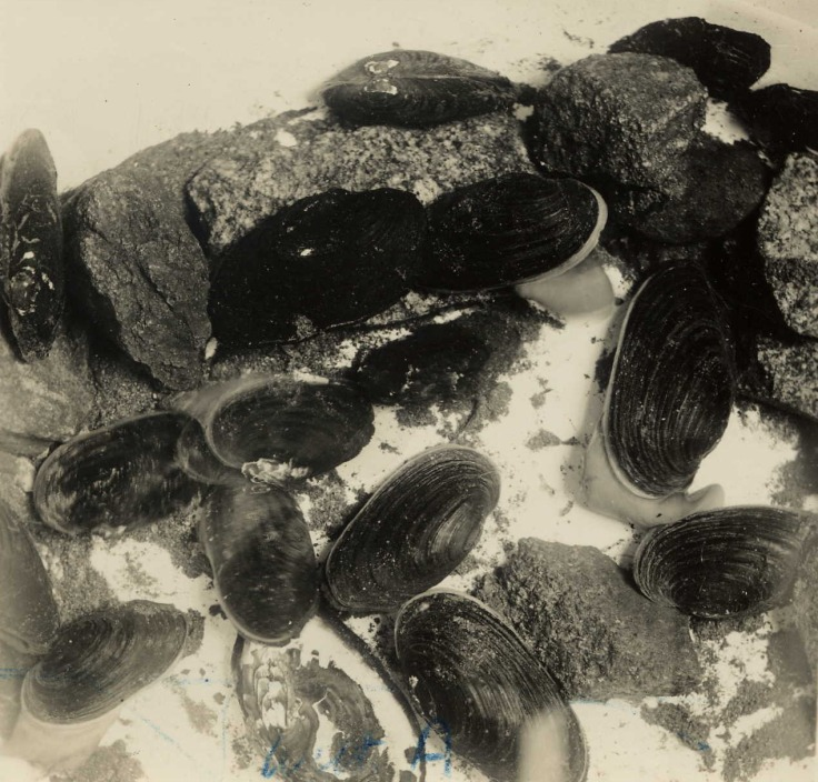Freshwater mussels kept by Alfred, 1938